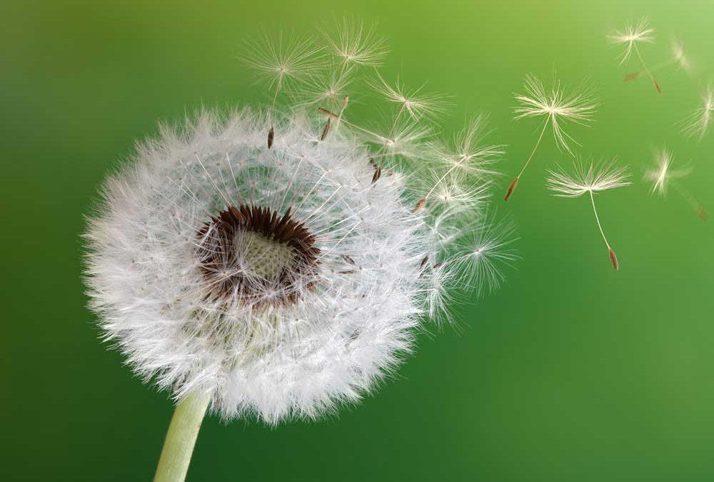 """Nahaufnahme einer Pusteblume mit wegfliegenden Flugschirmen auf grünem Hintergrund für das Magazin """"Abschied nehmen"""" von Oberpfalz Medien."""